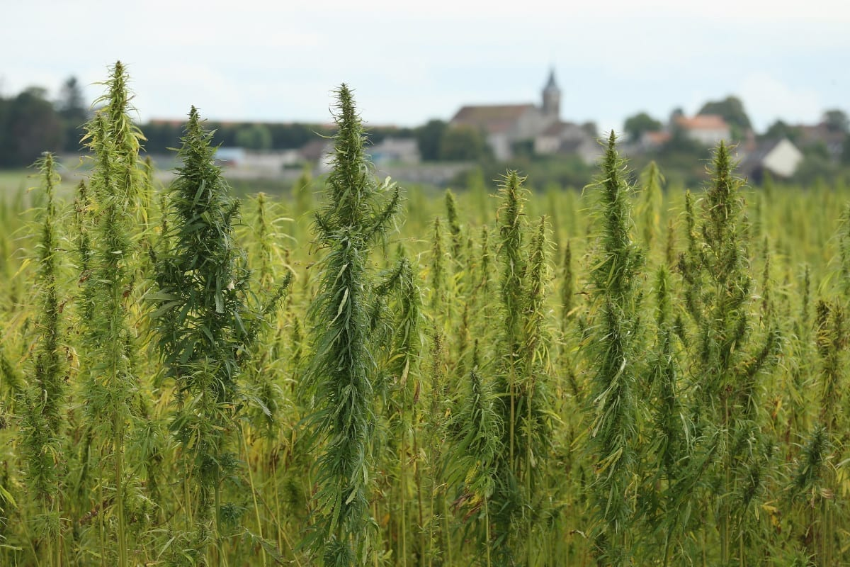 A Field Of Hemp Growing In The Country